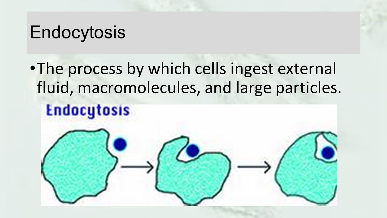 Endocytosis The process by which cells ingest external fluid, macromolecules, and large particles.