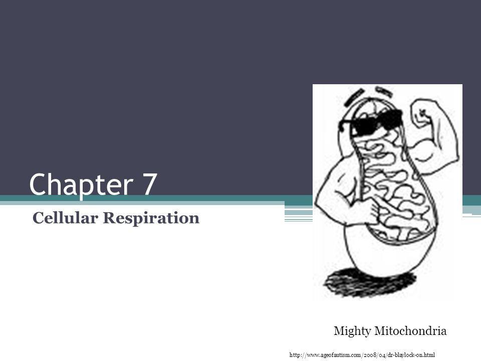 Chapter 7 Cellular Respiration Mighty Mitochondria