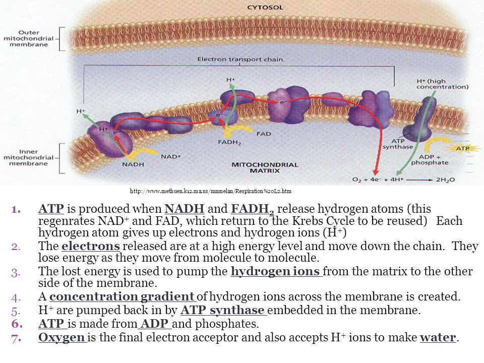 H+ are pumped back in by ATP synthase embedded in the membrane.
