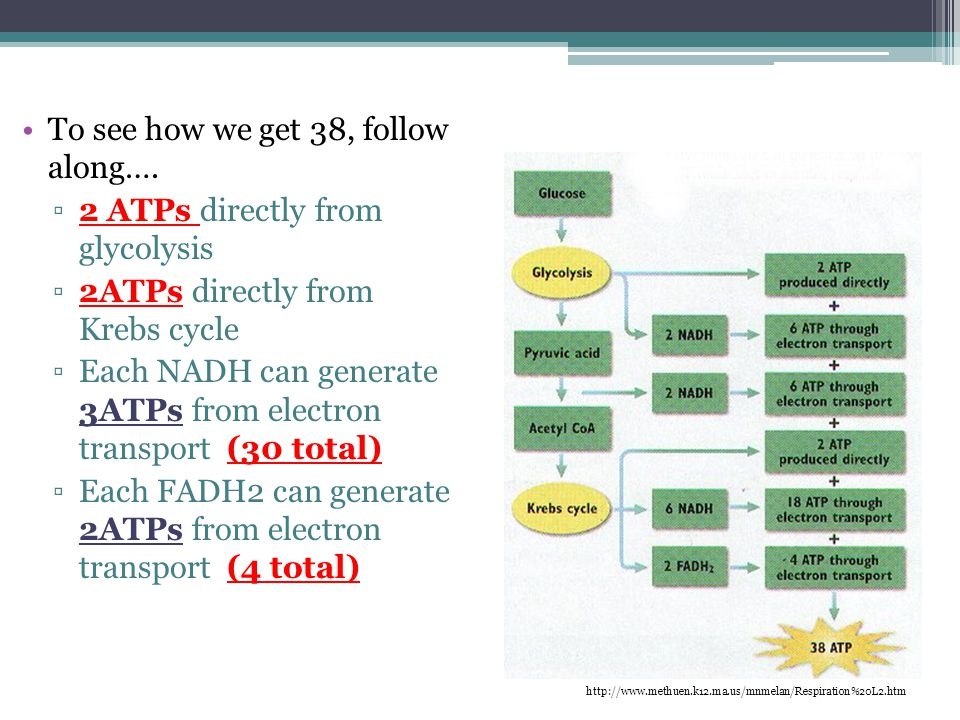 To see how we get 38, follow along…. 2 ATPs directly from glycolysis