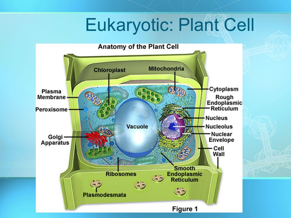 Eukaryotic: Plant Cell