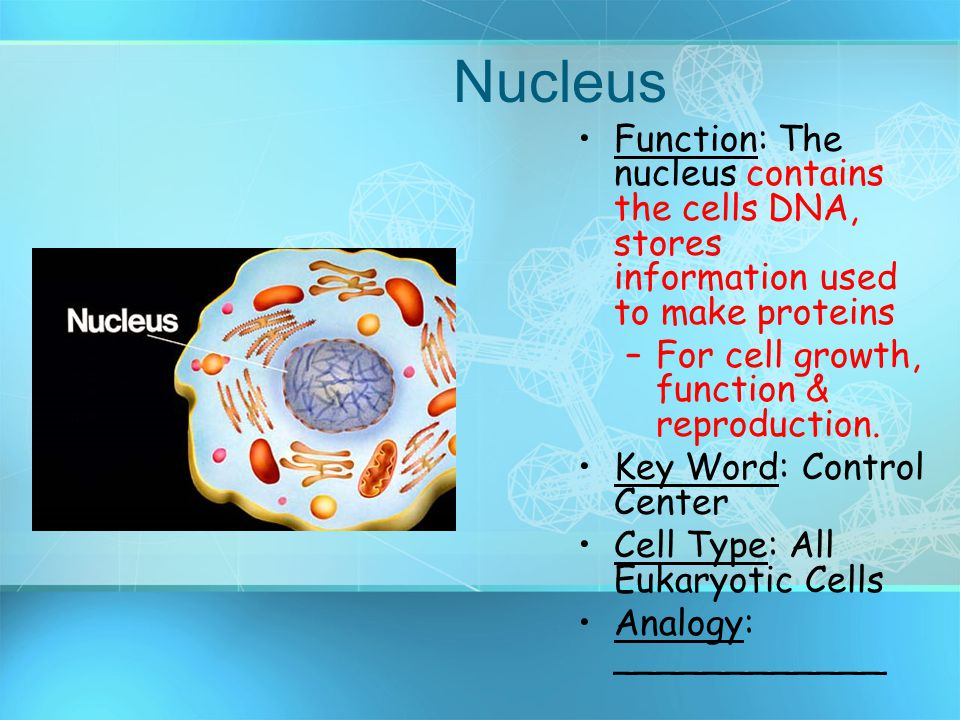 Nucleus Function: The nucleus contains the cells DNA, stores information used to make proteins. For cell growth, function & reproduction.