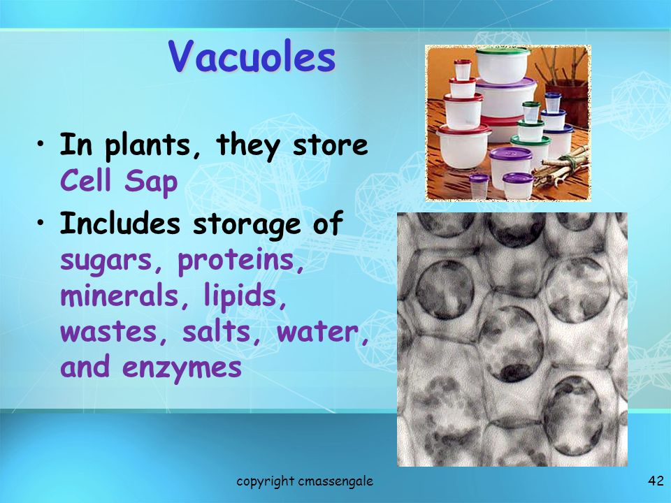 Vacuoles In plants, they store Cell Sap