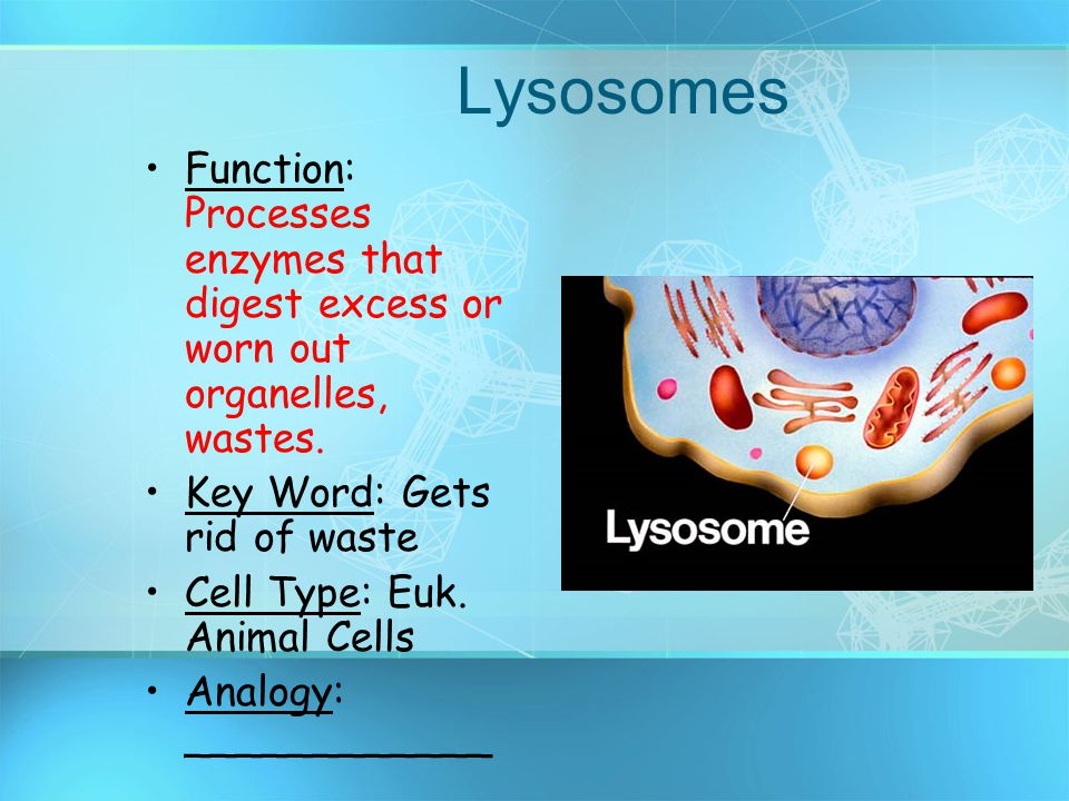 Lysosomes Function: Processes enzymes that digest excess or worn out organelles, wastes. Key Word: Gets rid of waste.
