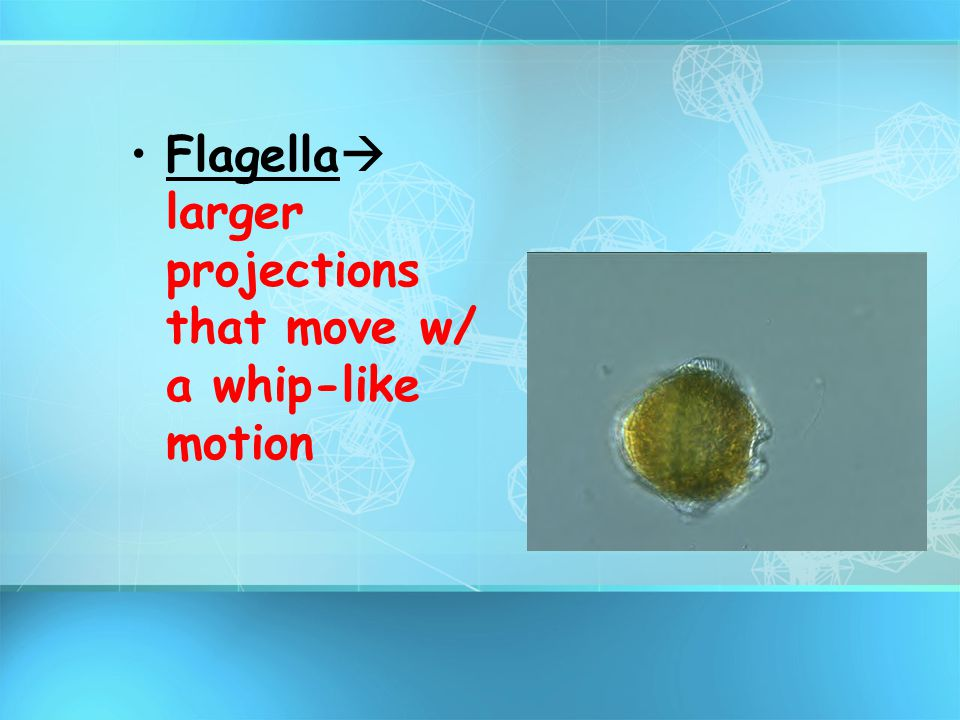 Flagella larger projections that move w/ a whip-like motion