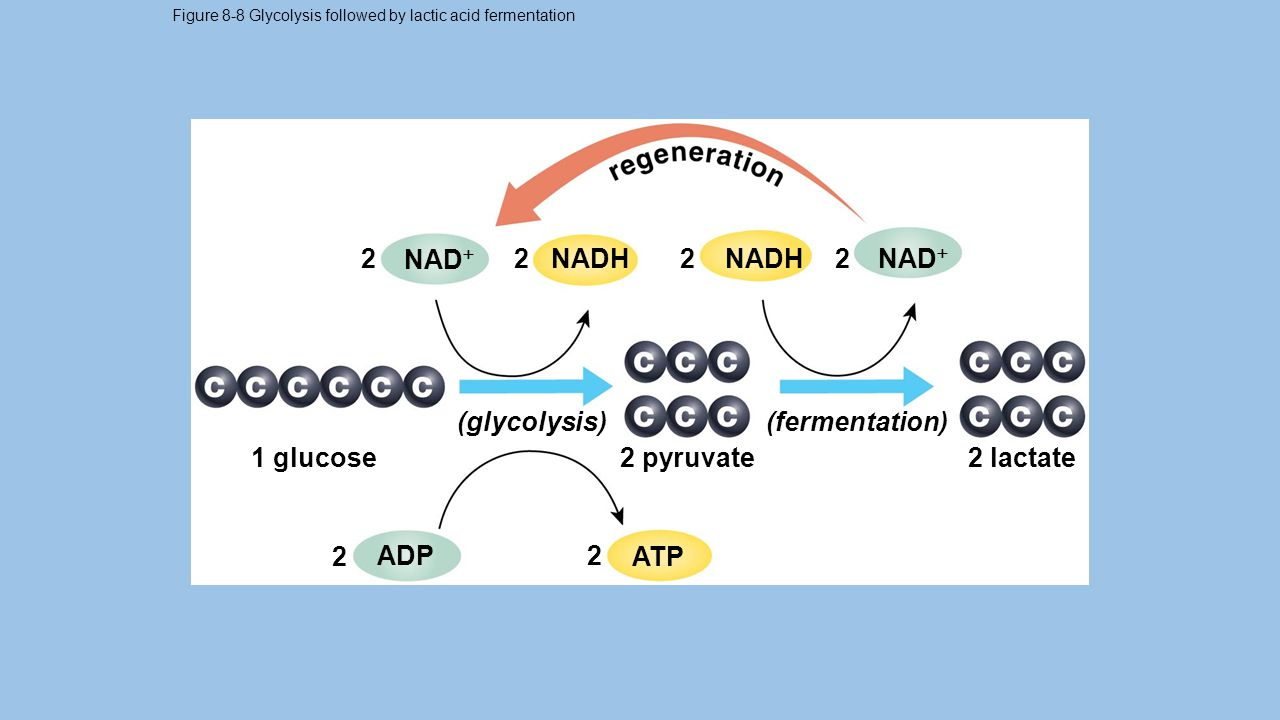Figure 8-8 Glycolysis followed by lactic acid fermentation