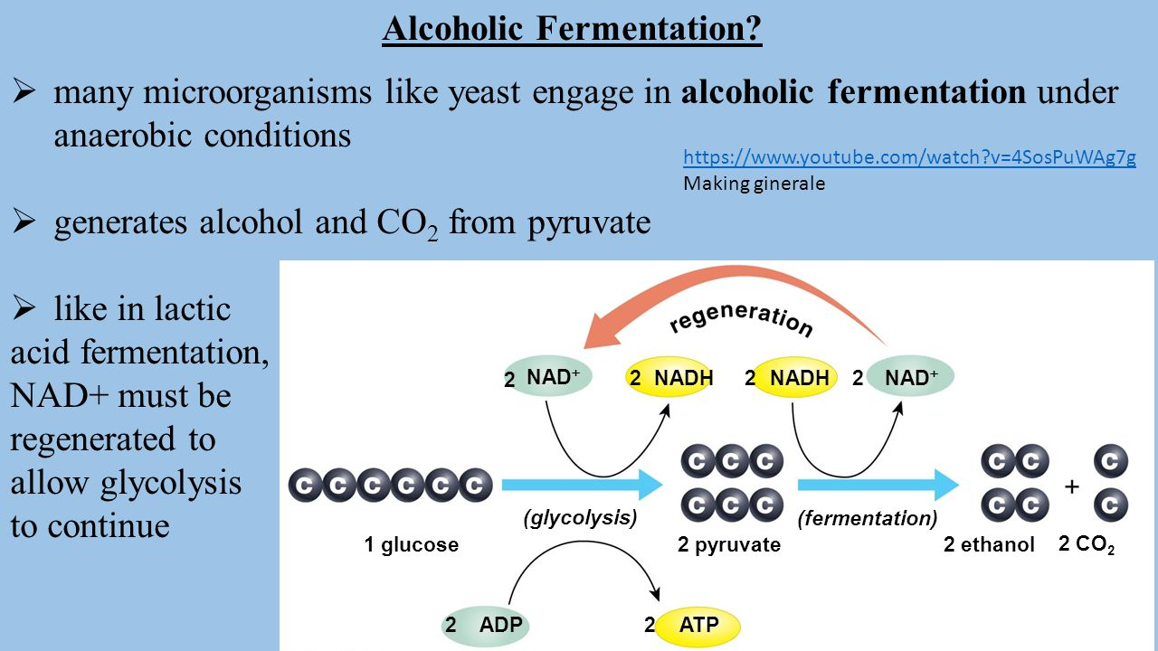 bio lab alcoholic fermentation Coming up next: photosynthesis: biology lab yeast and its ability to perform alcohol fermentation lesson summary alcohol alcohol fermentation.