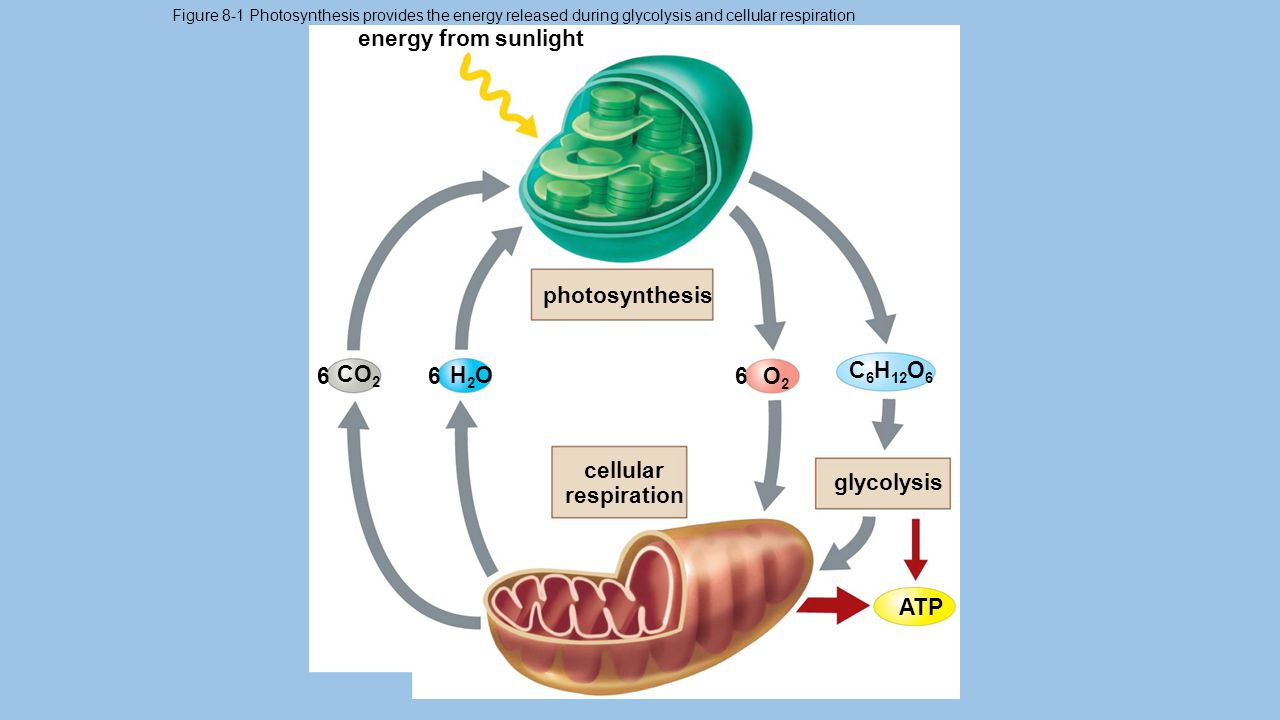 energy from sunlight photosynthesis C6H12O6 6 CO2 6 H2O 6 O2 cellular