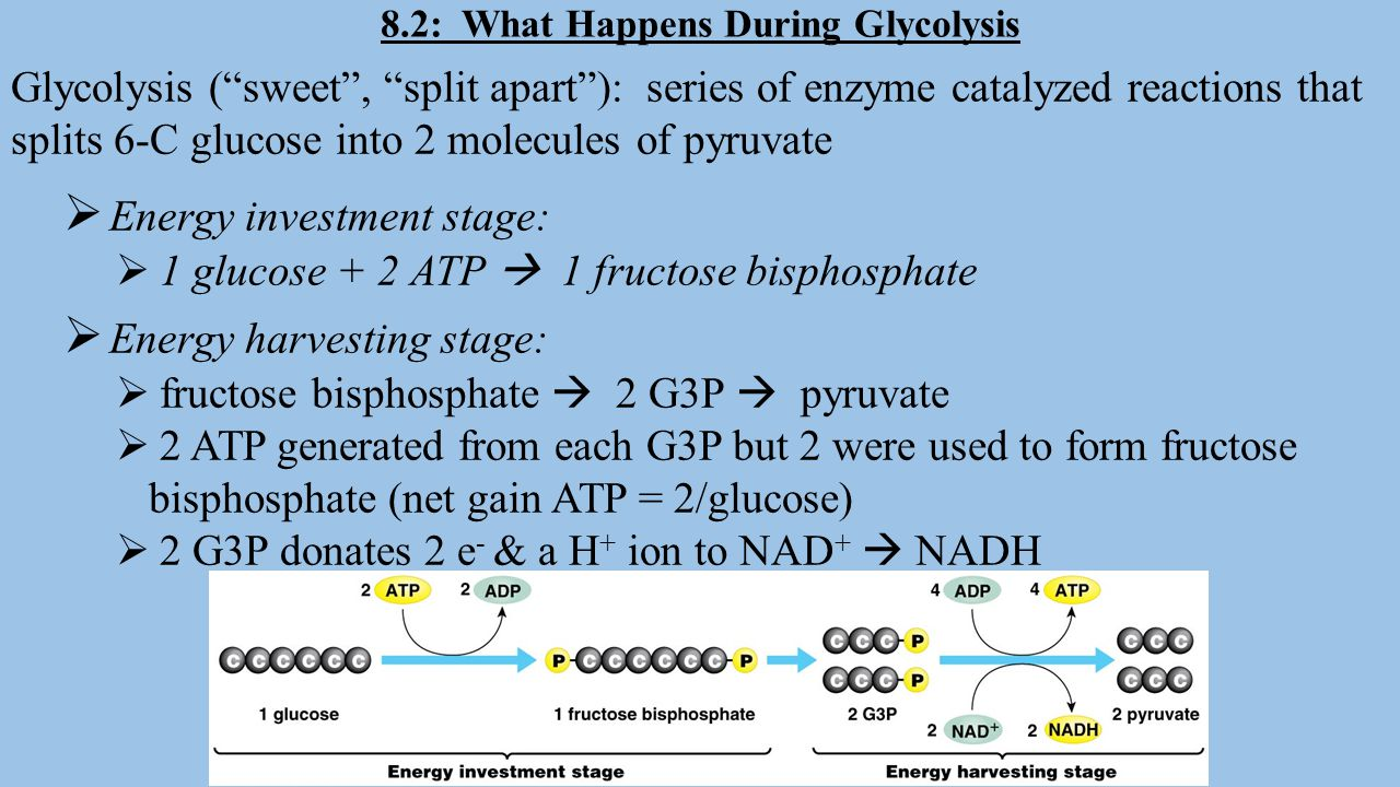 8.2: What Happens During Glycolysis