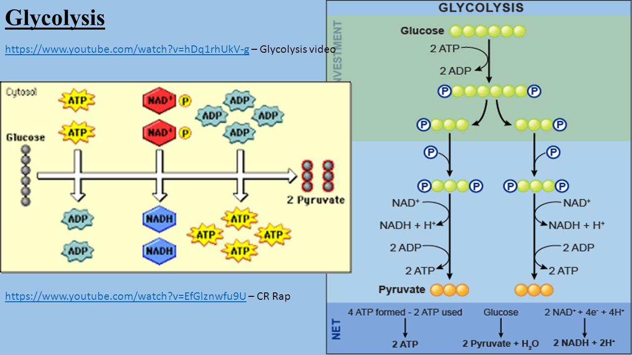 Glycolysis https://www.youtube.com/watch v=hDq1rhUkV-g – Glycolysis video.