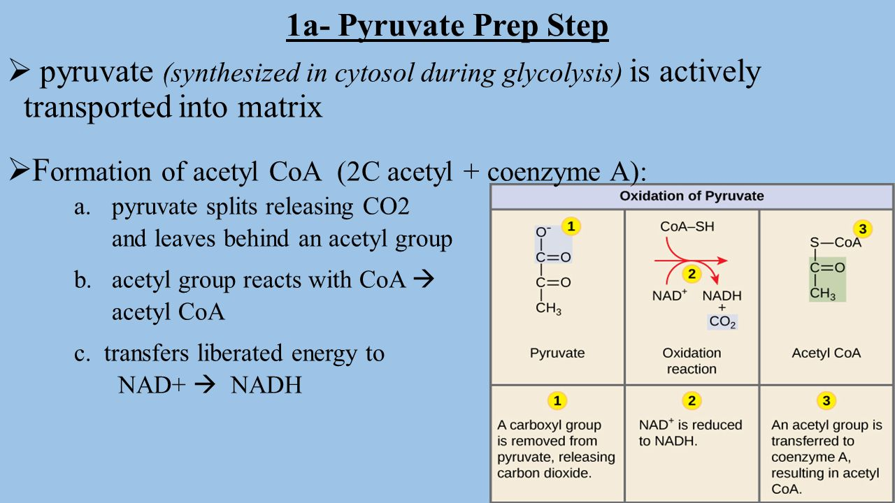 Formation of acetyl CoA (2C acetyl + coenzyme A):