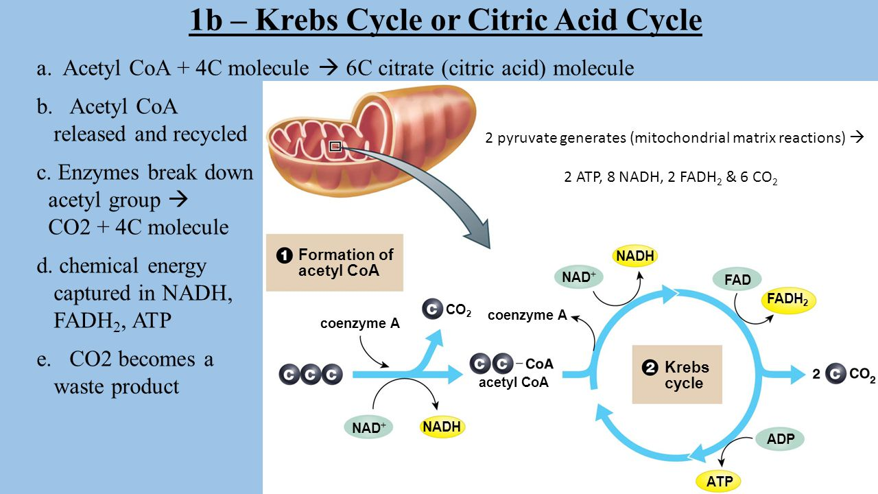 1b – Krebs Cycle or Citric Acid Cycle
