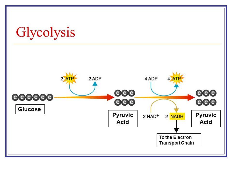Glycolysis Glucose Pyruvic Acid Pyruvic Acid