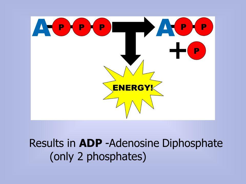 Results in ADP -Adenosine Diphosphate