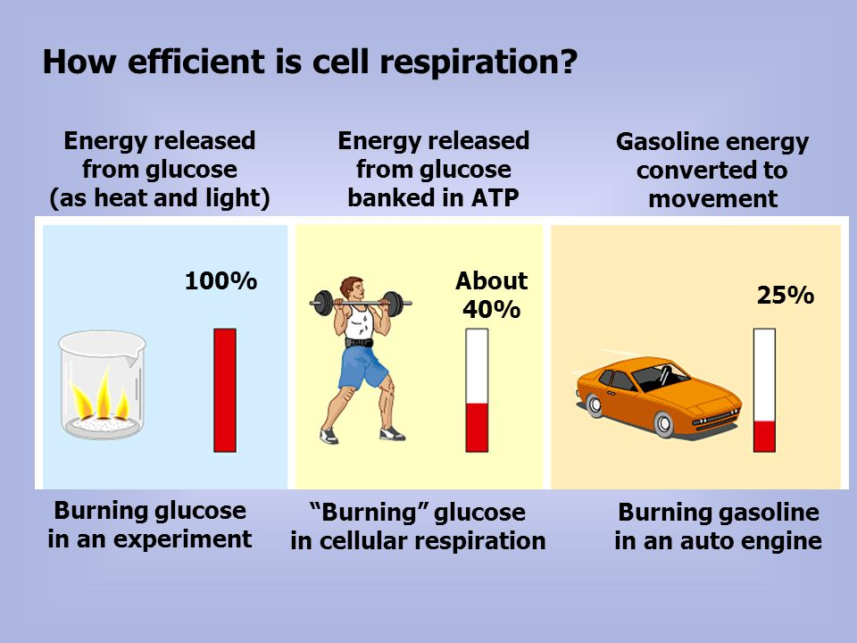 How efficient is cell respiration