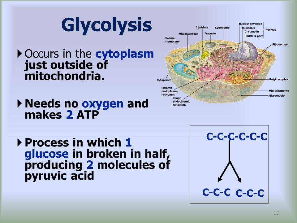 Glycolysis Occurs in the cytoplasm just outside of mitochondria.