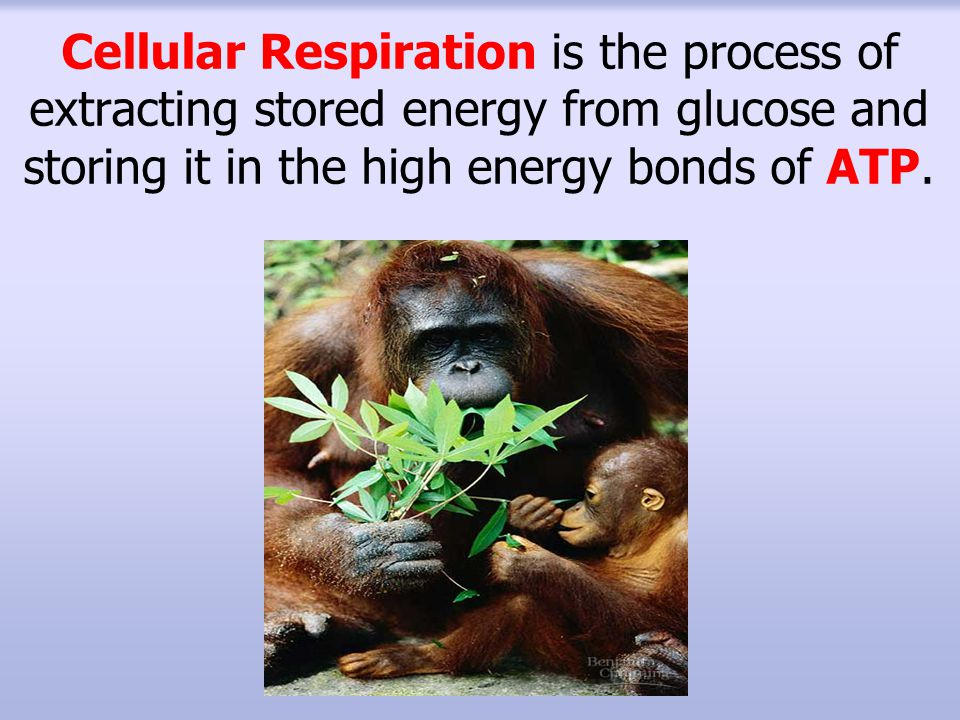 Cellular Respiration is the process of extracting stored energy from glucose and storing it in the high energy bonds of ATP.