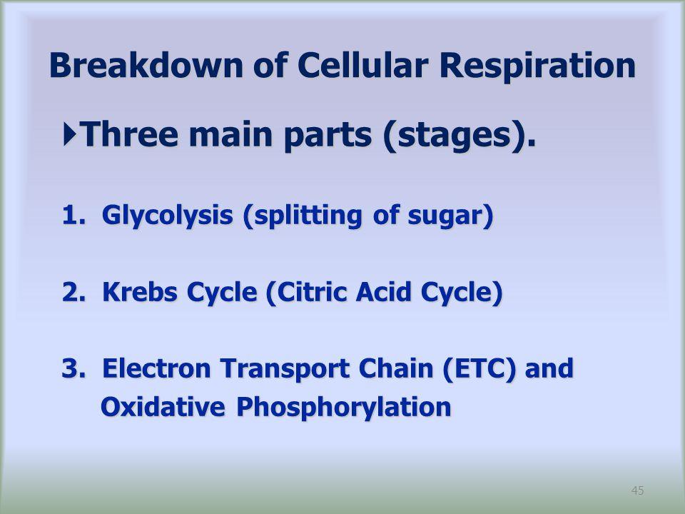 Breakdown of Cellular Respiration