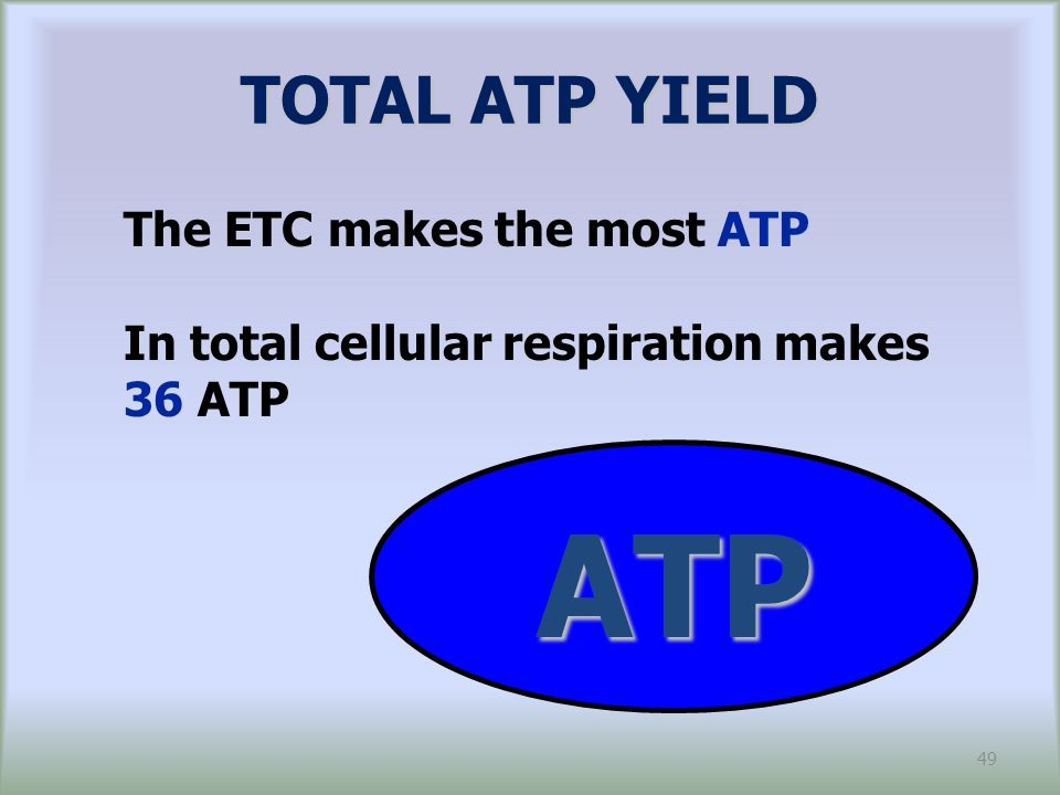 ATP TOTAL ATP YIELD The ETC makes the most ATP