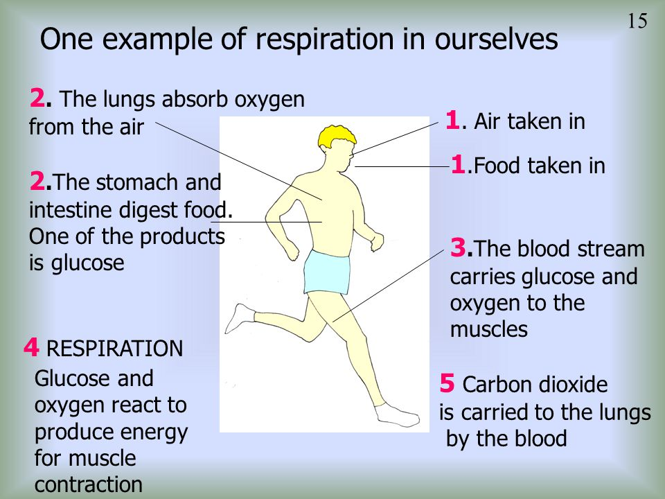 One example of respiration in ourselves