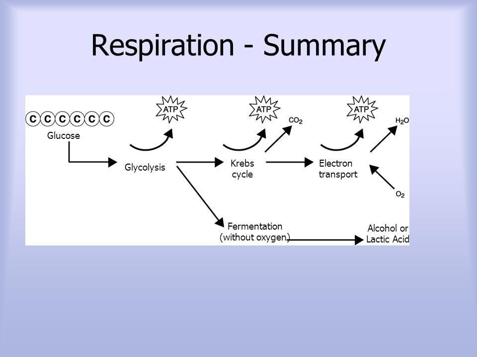 Fermentation (without oxygen)