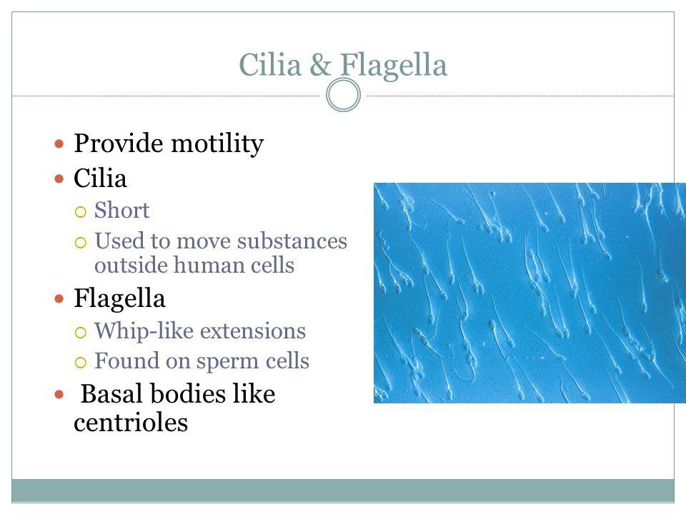 Cilia & Flagella Provide motility Cilia Flagella