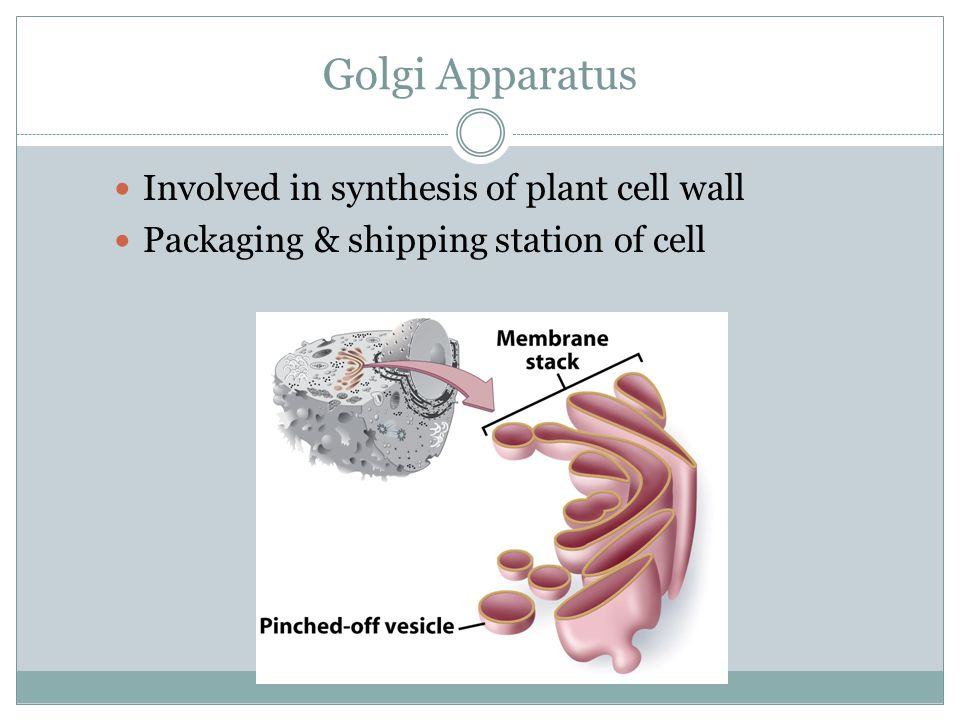 Golgi Apparatus Involved in synthesis of plant cell wall