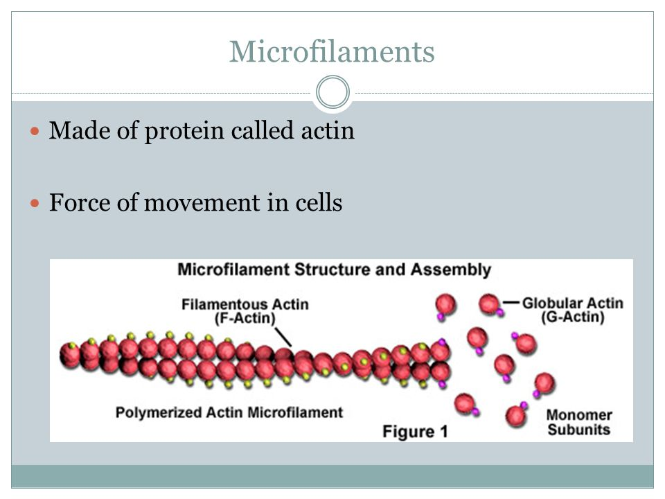 Microfilaments Made of protein called actin Force of movement in cells