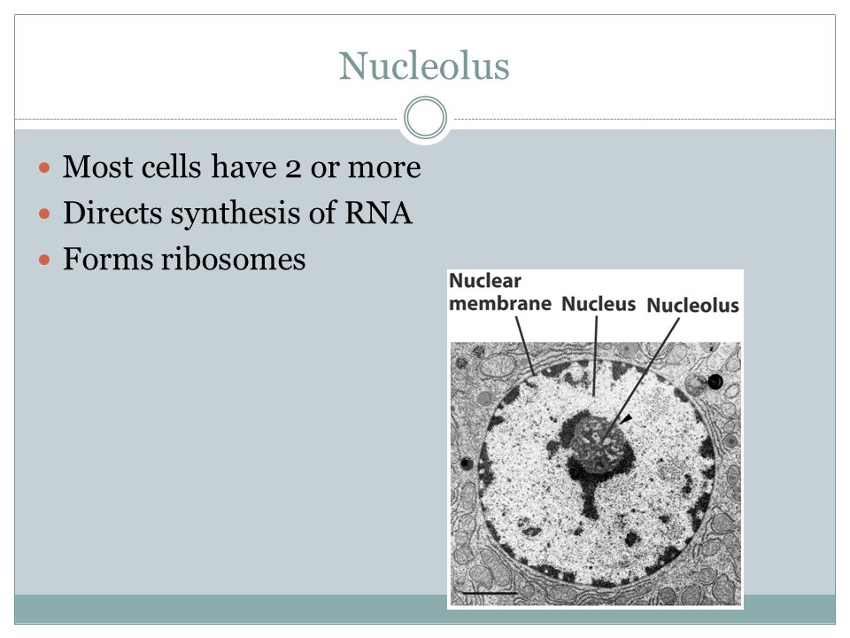 Nucleolus Most cells have 2 or more Directs synthesis of RNA