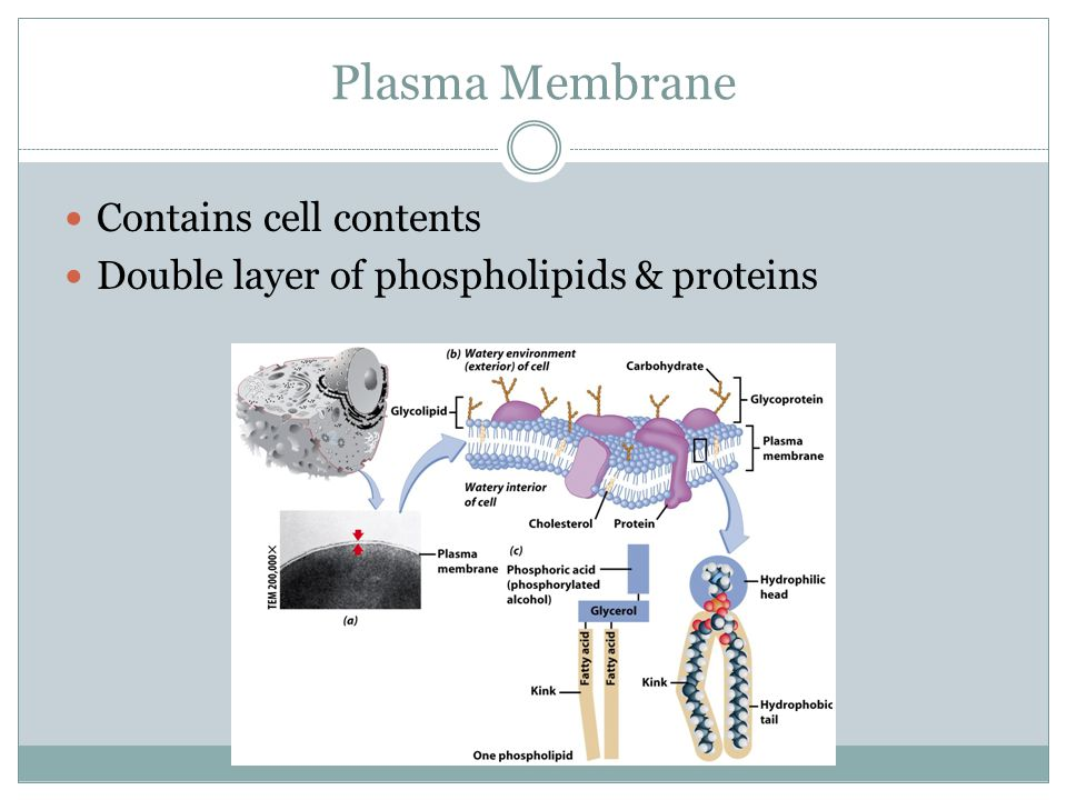 Plasma Membrane Contains cell contents