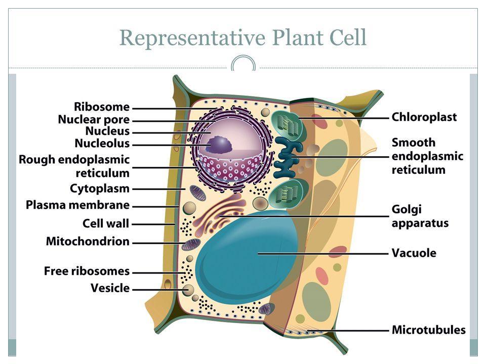 Representative Plant Cell