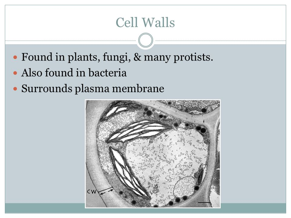 Cell Walls Found in plants, fungi, & many protists.