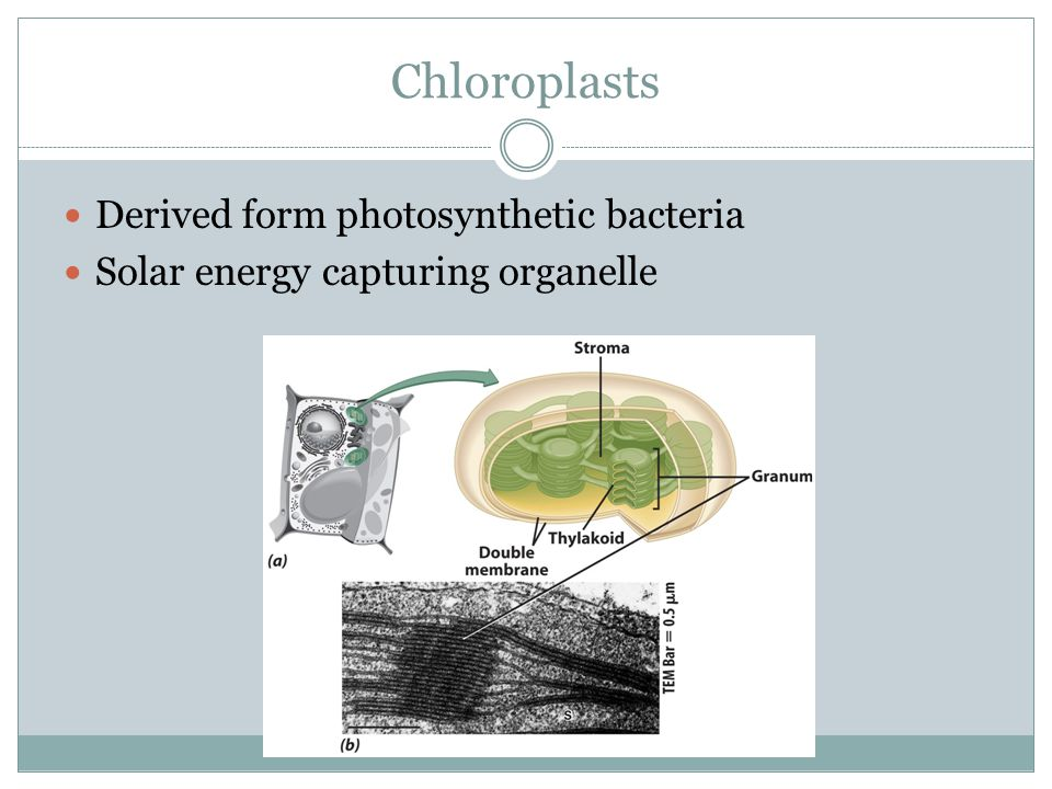Chloroplasts Derived form photosynthetic bacteria
