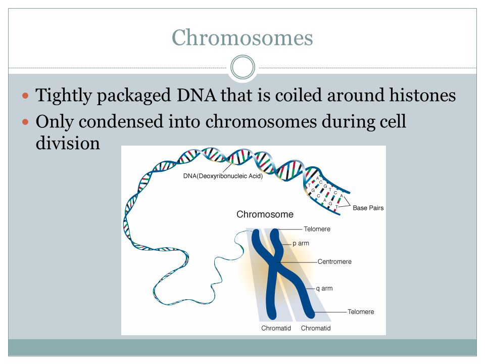 Chromosomes Tightly packaged DNA that is coiled around histones