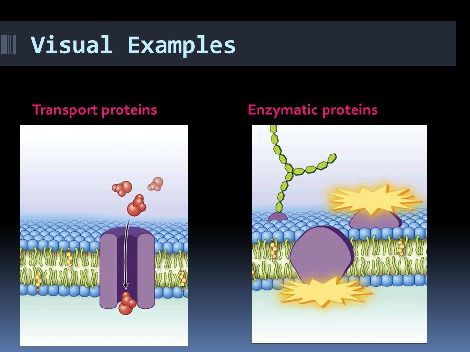 Visual Examples Transport proteins Enzymatic proteins