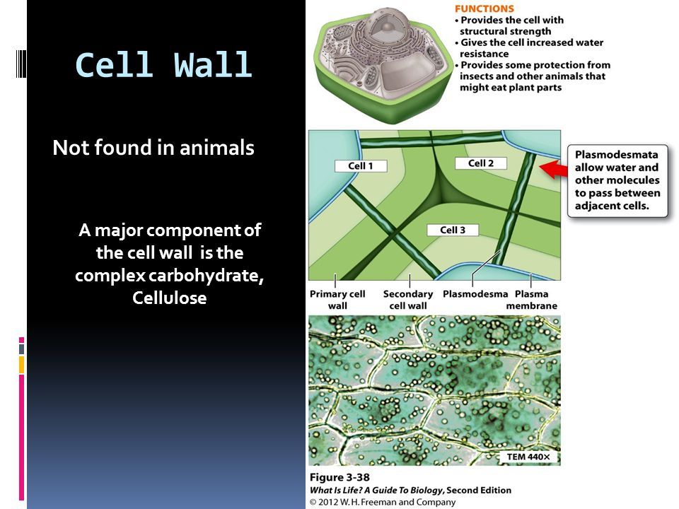 Cell Wall Not found in animals