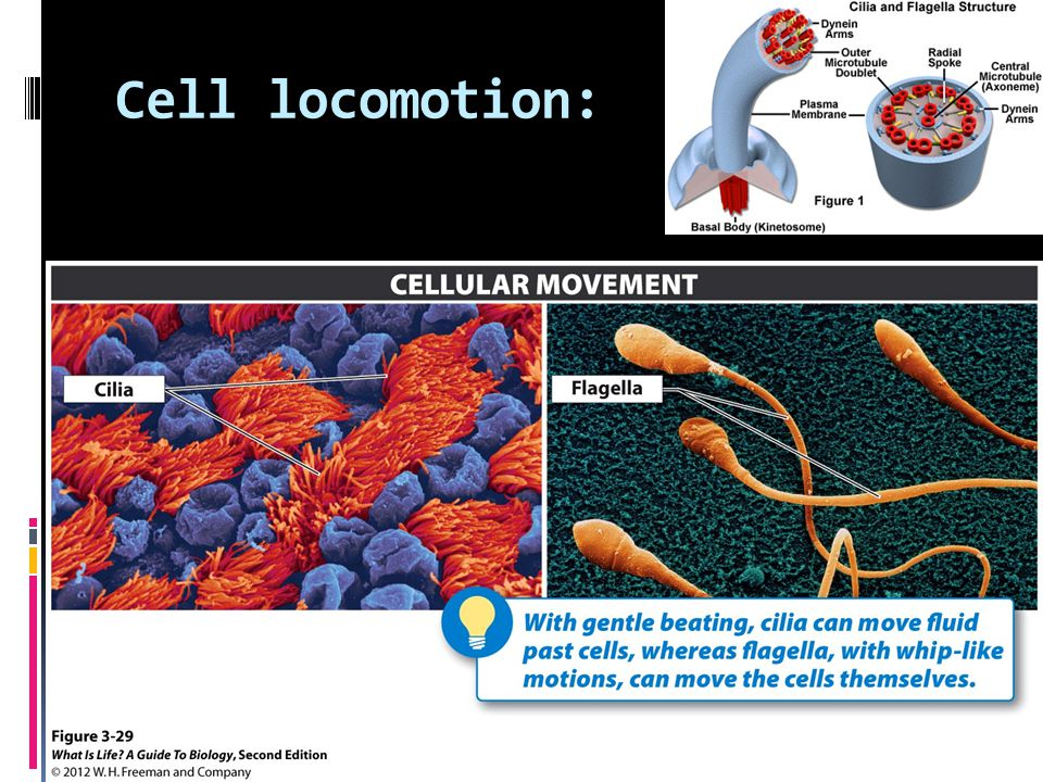 Cell locomotion: Protein microtubules and filaments have function in locomotion as well as cell shape and transport.