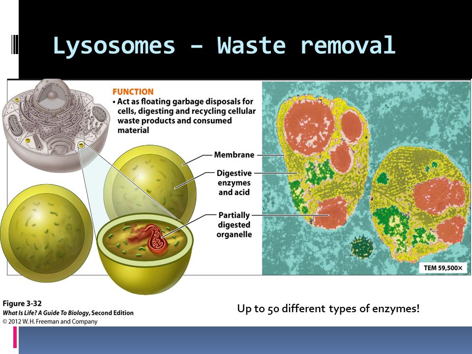 Lysosomes – Waste removal