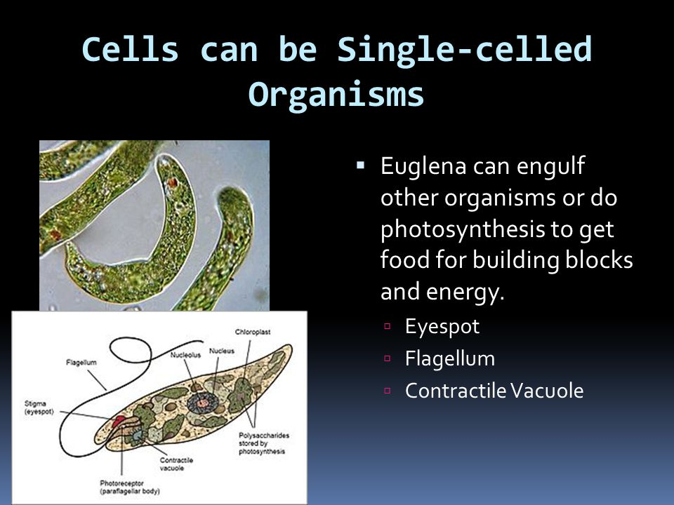 Cells can be Single-celled Organisms