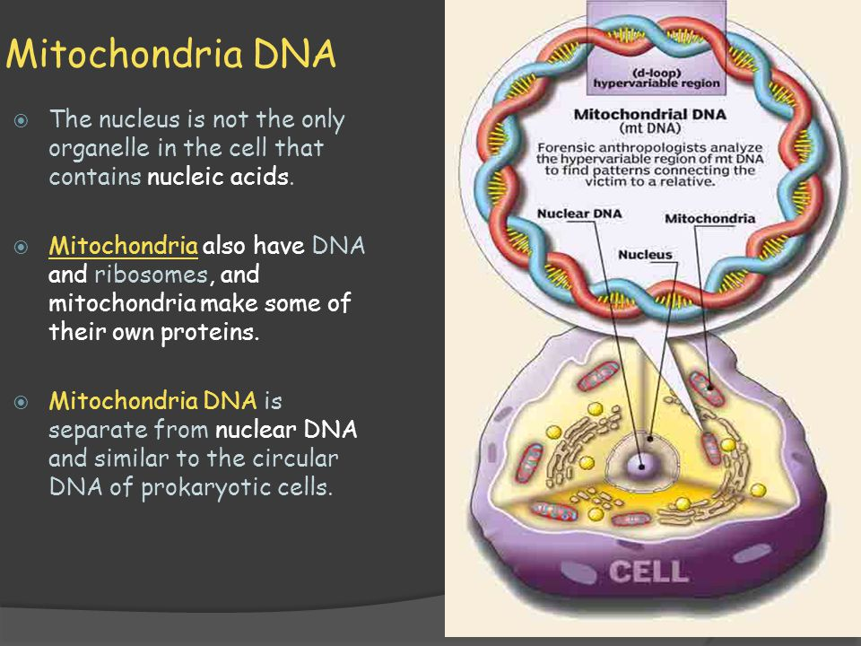 Mitochondria DNA The nucleus is not the only organelle in the cell that contains nucleic acids.