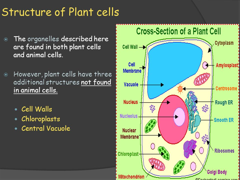Structure of Plant cells