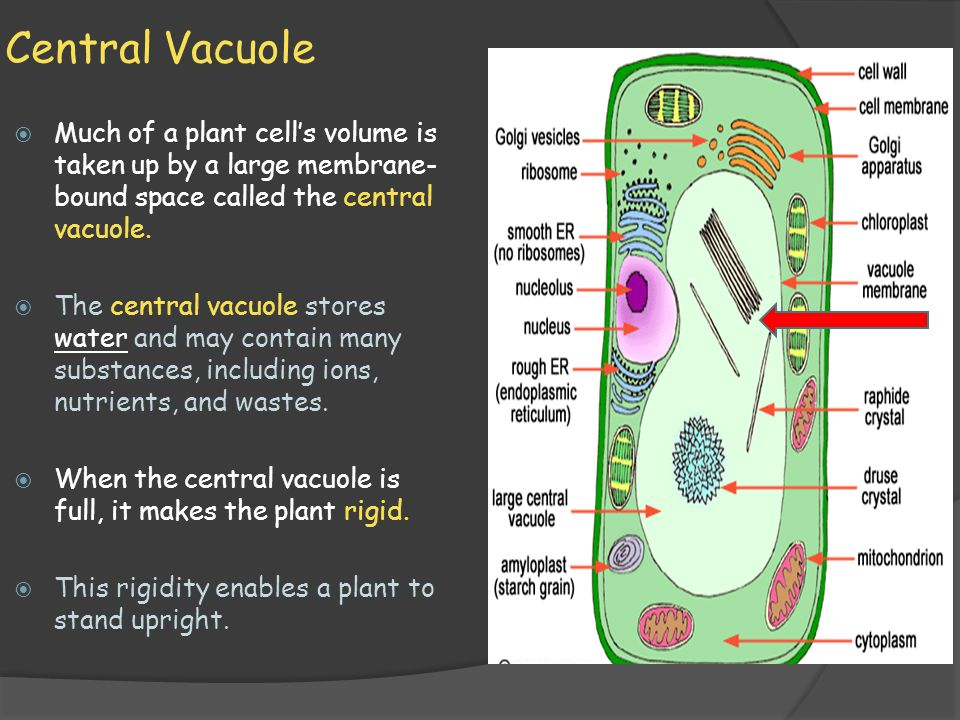 Central Vacuole Much of a plant cell's volume is taken up by a large membrane-bound space called the central vacuole.