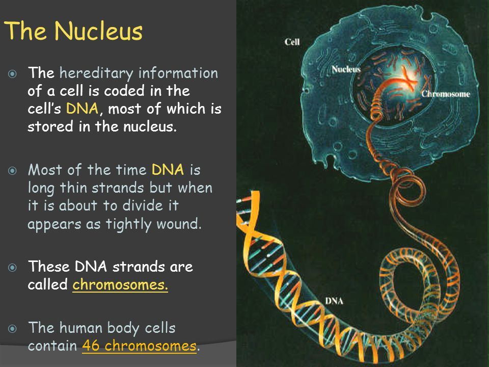 The Nucleus The hereditary information of a cell is coded in the cell's DNA, most of which is stored in the nucleus.