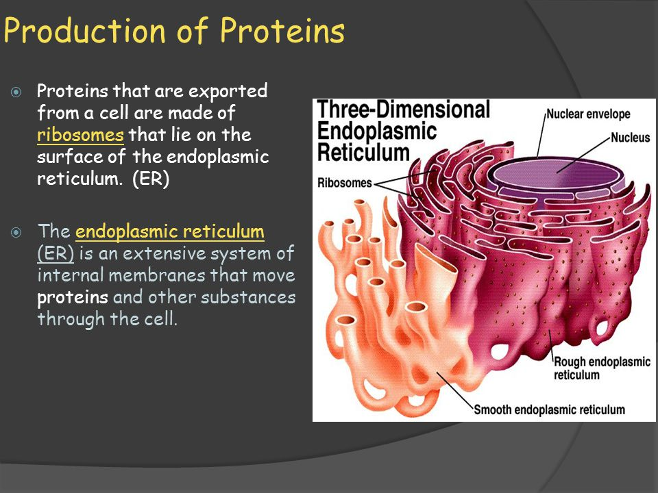 cell organelles and the production of One of the most important functions in the cell is making and processing proteins  several organelles are directly involved in protein synthesis,.