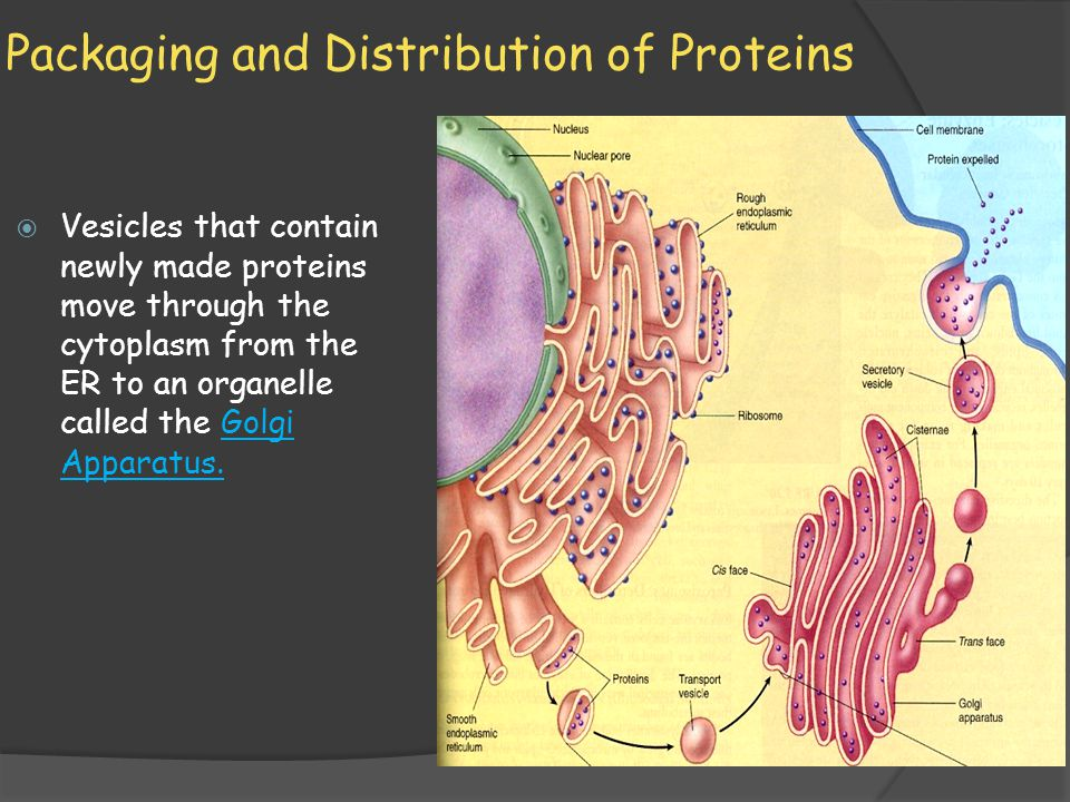 Packaging and Distribution of Proteins