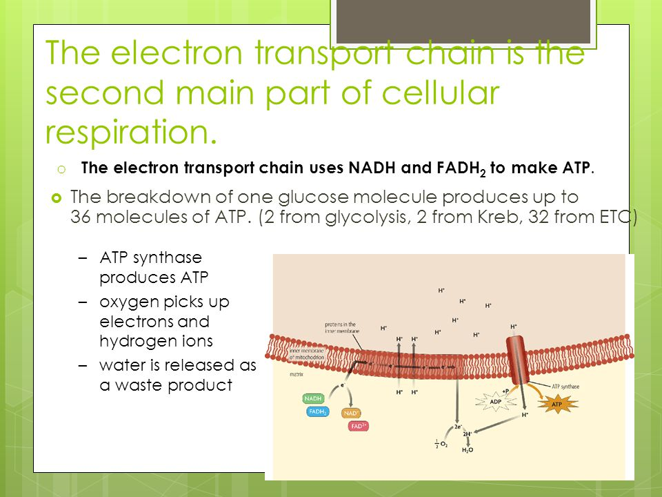 The electron transport chain is the second main part of cellular respiration.