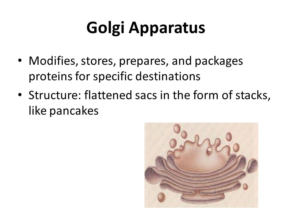 Golgi Apparatus Modifies, stores, prepares, and packages proteins for specific destinations.