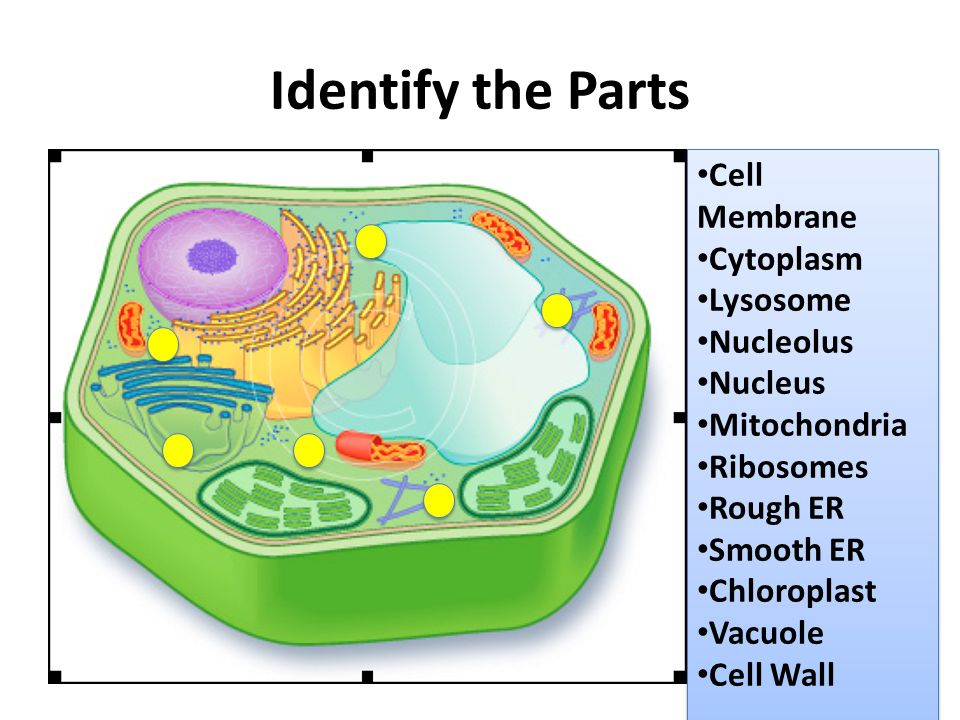 Identify the Parts Cell Membrane Cytoplasm Lysosome Nucleolus Nucleus
