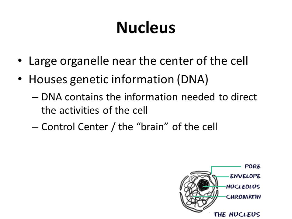 Nucleus Large organelle near the center of the cell