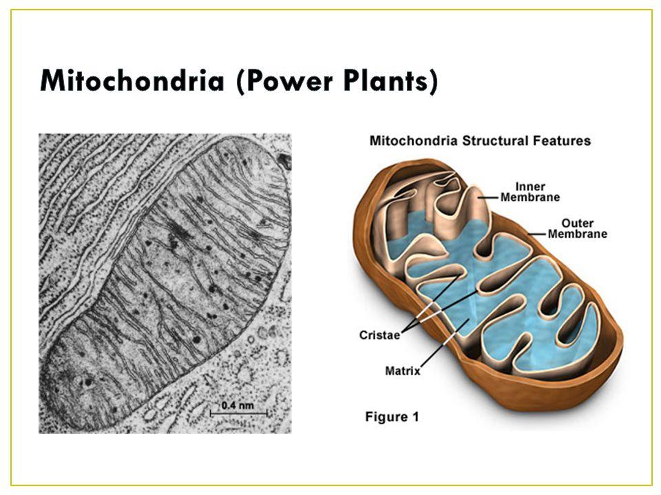 Mitochondria (Power Plants)